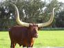 ロングホーンの牛.jpg